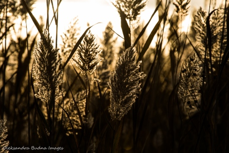 grass at Ojibway Prairie Nature Reserve in Windsor