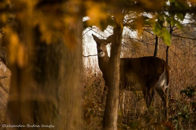 deer at Ojibway Prairie Nature Reserve