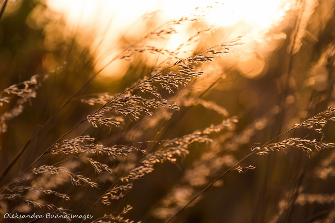 grass at sunset at Ojibway Prairie Nature Reserve in Windsor