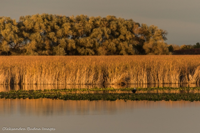 bold eagle in the marsh at Point Pelee National Park
