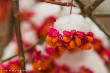 snow on orange berries