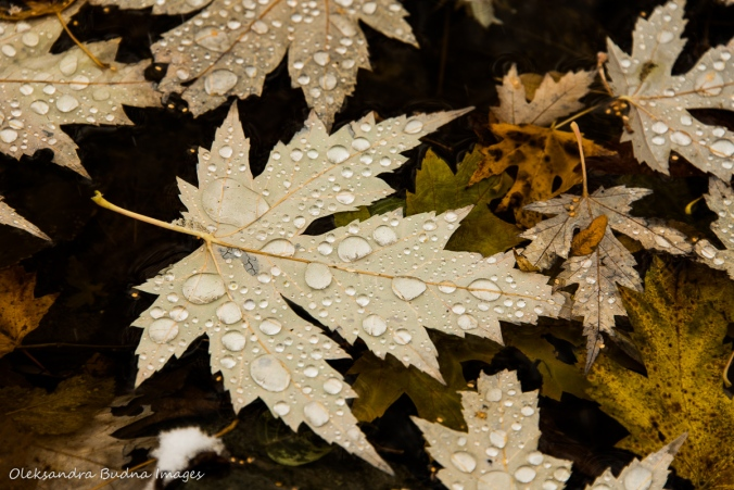 drops on a yello wmaple leaf