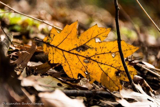 oak leaf on the ground
