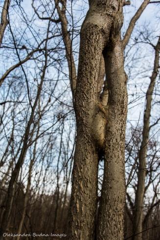interconnected hackberry trees