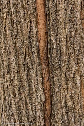 vine ingrown into the tree bark