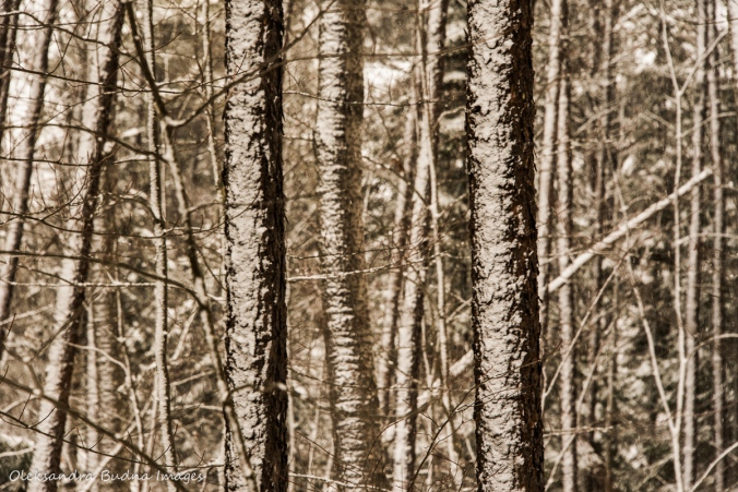 forest in the winter at Windy Lake Provincial Park