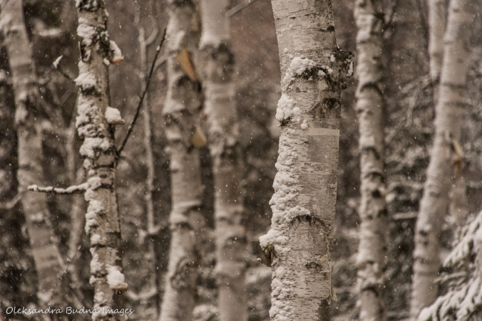 birches in the winter at Windy Lake Provincial Park