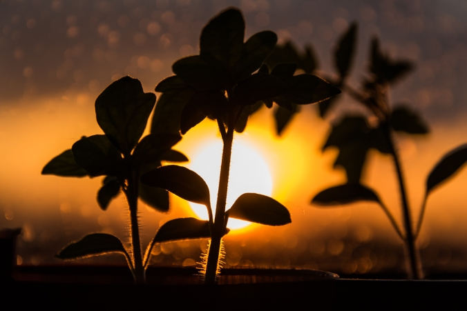 tomato seedlings against the setting sun