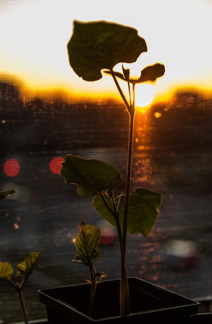 bean plant on a windowsill against the setting sun