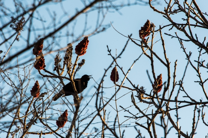red-shoulder blackbird singing in the tree