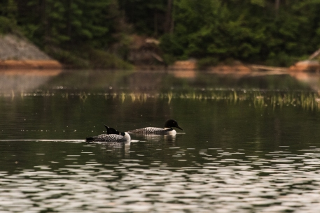 loons on Ruth-Roy Lake in Killarney
