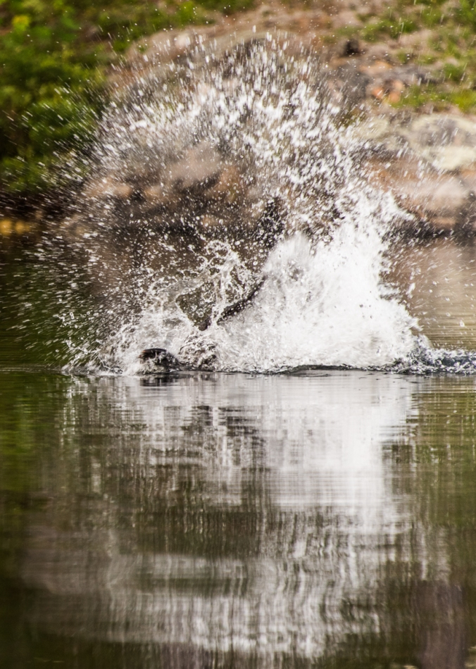 beaver flapping its tail in the water