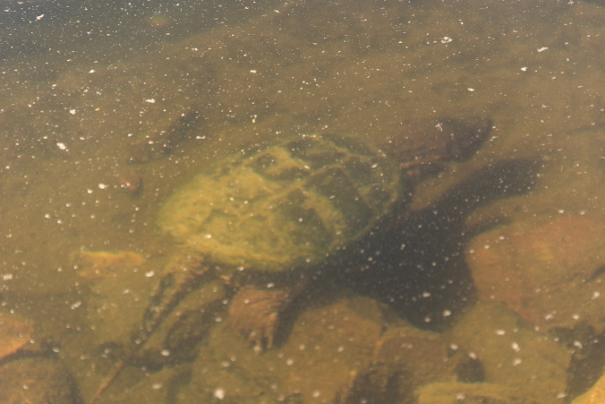 snapping turtle in the water