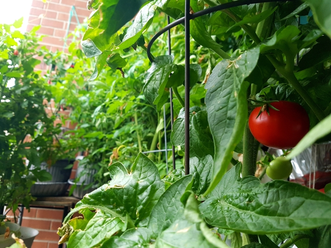 tomato plants in a container garden