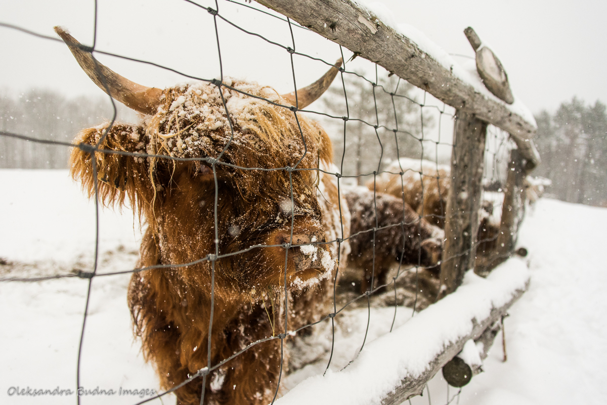 Highland Cattle at Au Diable Vert