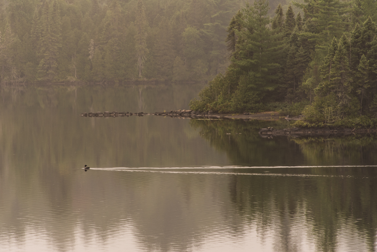 loon on Blueberry Lake in Temagami