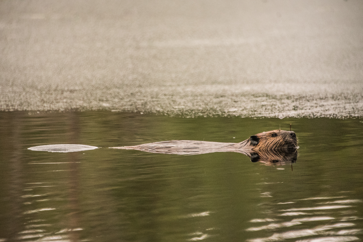 beaver swimming at McCrae Lake