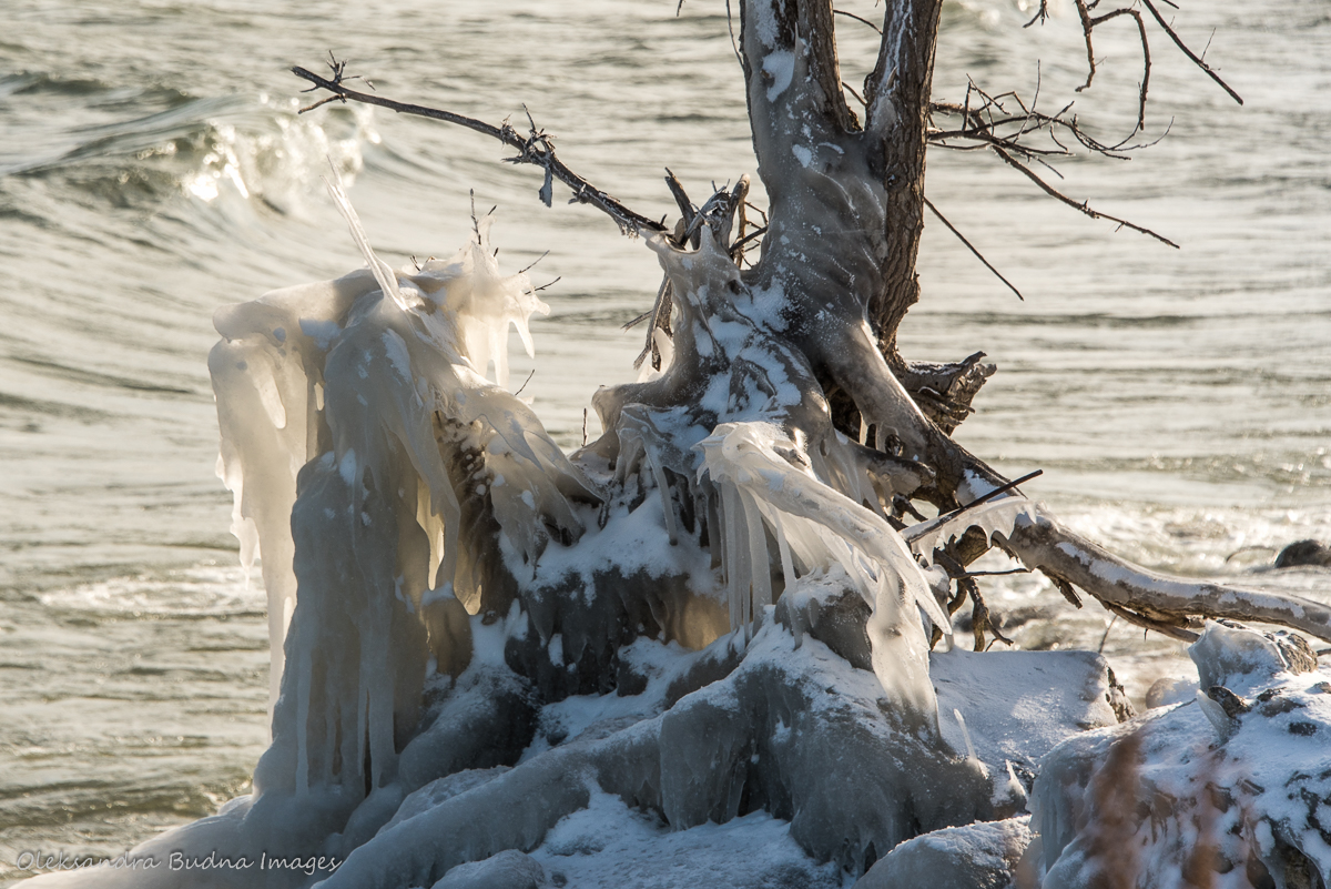 frozen tree roots